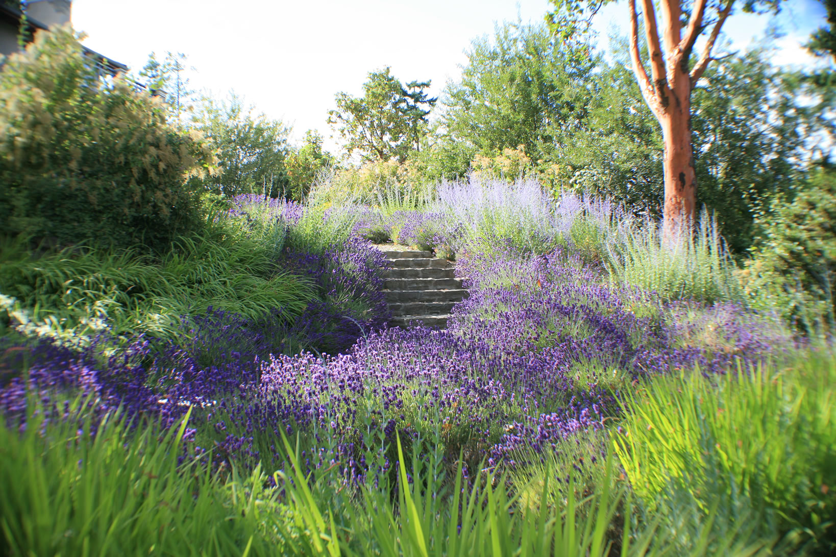 Landscaping With Russian Sage Garden Ideas, Adds Sum...